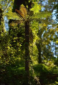 Fern ; West Coast Forest