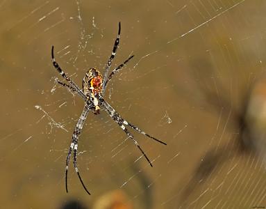 Spider ; Umbrawarra II