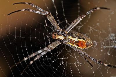 Spider ; Umbrawarra