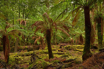 7  Dicksonia Ferns; Tarkine