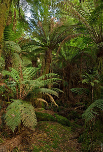 8  Soft Tree-fern; Under the Canopy