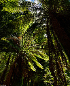 Tarkine Forest ll