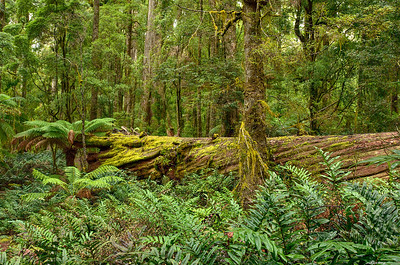 Tarkine Rainforest ll