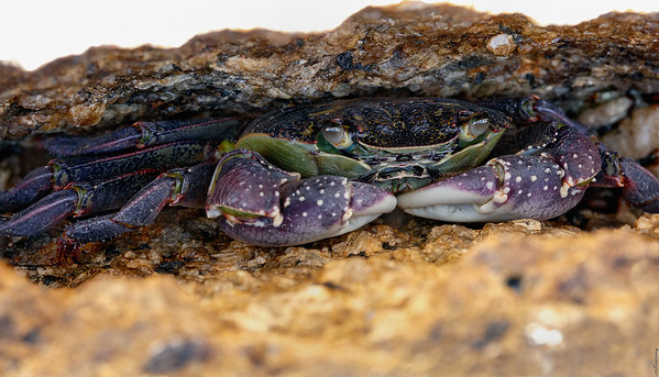 Crab ; Bay of Fires
