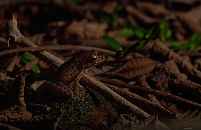 Baram River Frog