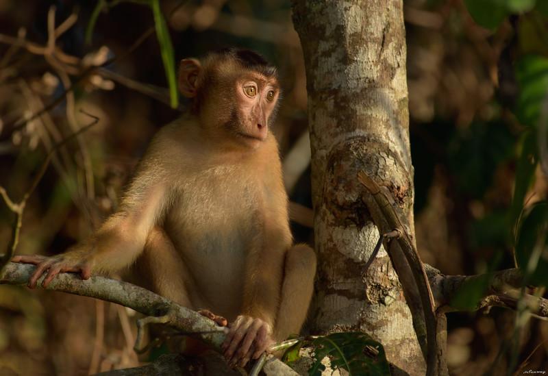 Macaque II