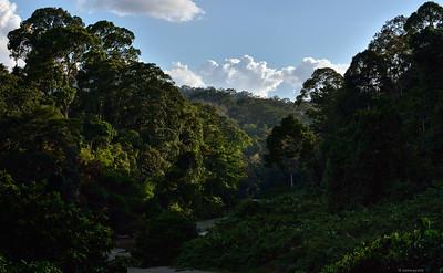 Forest ; Borneo VII
