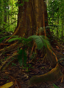 Forest ; Borneo IX