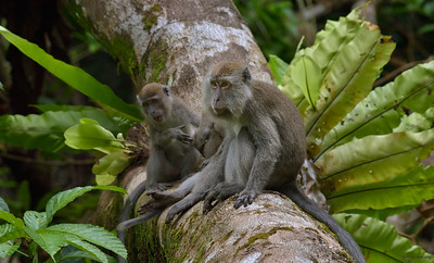 Macaque ; The Mother