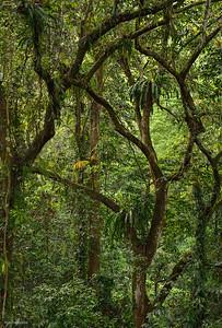 Forest ; Borneo VI