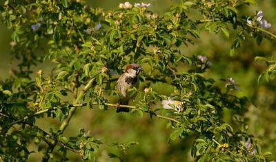 Sparrow III
