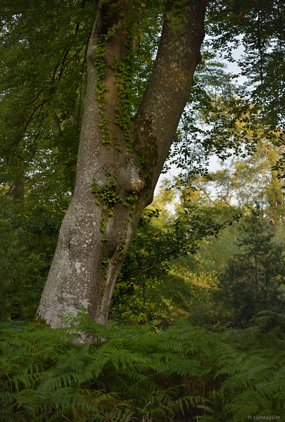 Bramshaw Wood