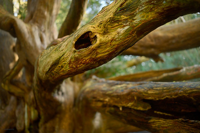 Yew Forest III