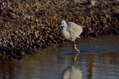 Little Egret ; Female
