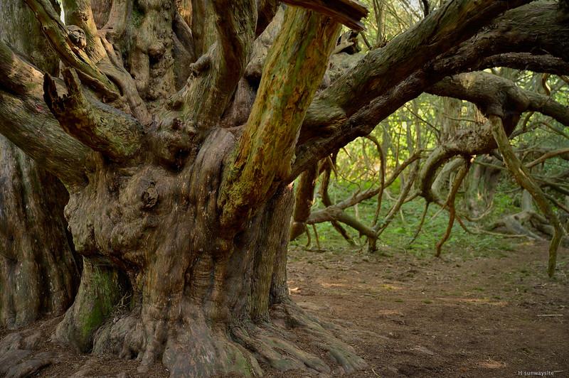 Kingley Wood III