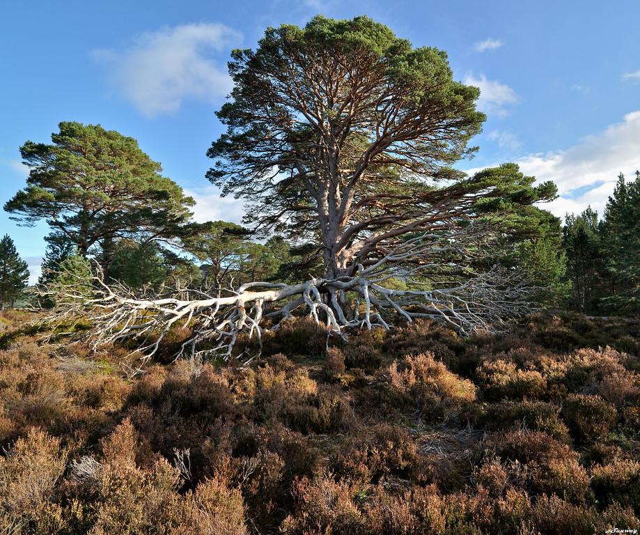 Pine Tree ; high-key