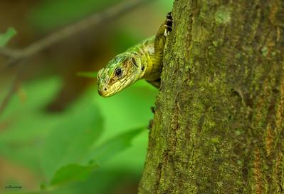 Strandzha ll ; Lizard
