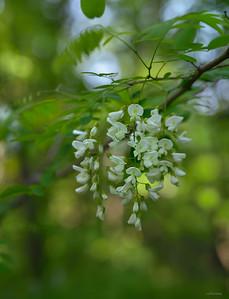 Robinia Blossom ; Strandzha Forest