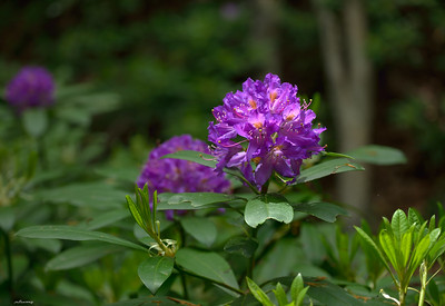 Pontic Rhododendron