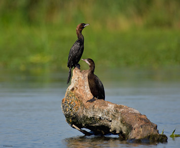 Little Cormorant