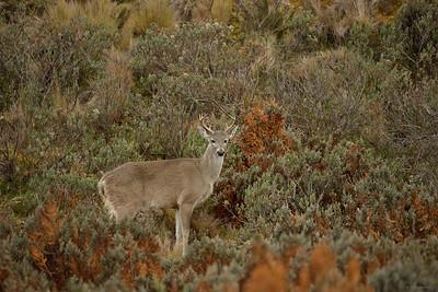 Paramo Deer