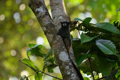 Black-mantled Tamarin II