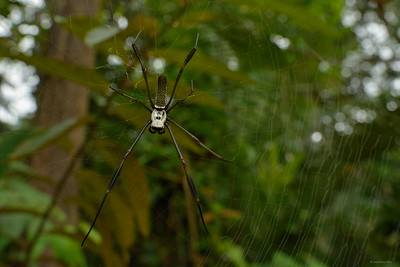 Golden Silk Orb-weaver