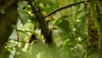 Spotted Woodcreeper