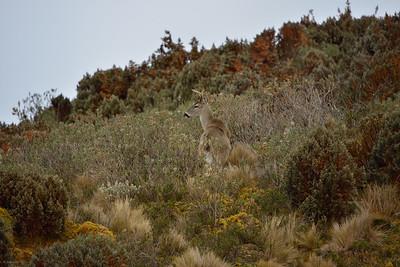 Paramo Deer II