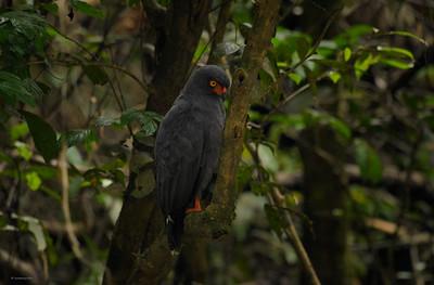 Hawk ; In the Dark