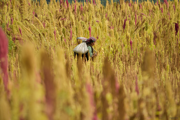Amarant Field