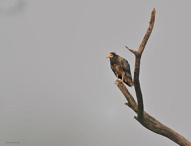 Egyptian Vulture II