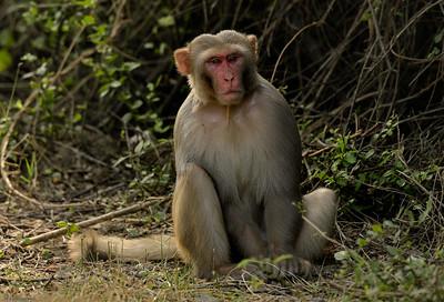 Rhesus Macaque V