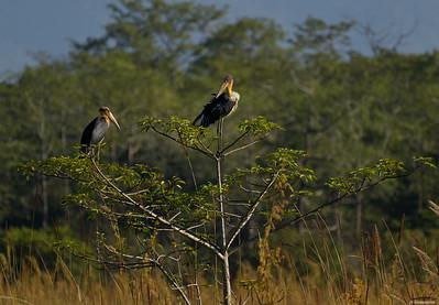 Lesser Adjutant Stork II