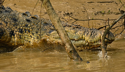 Crocodile V
