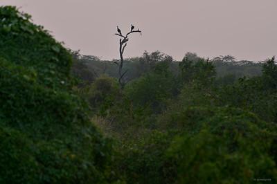 Indian Peafowl; Sunset
