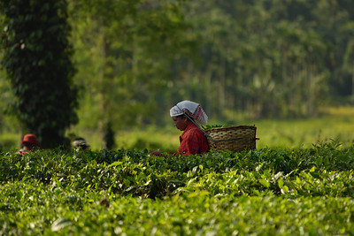Tea Picker II