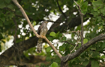 Indian Hawk-cuckoo III
