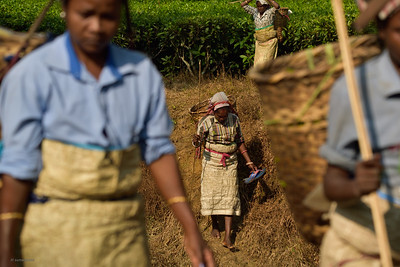 Tea Pickers