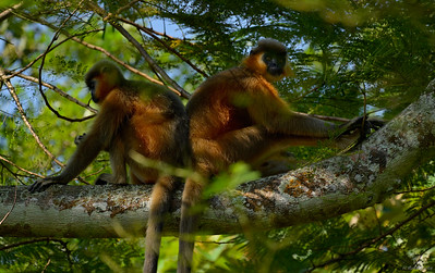 The Resting Langurs