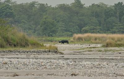 Water Buffalo; The Floodplain