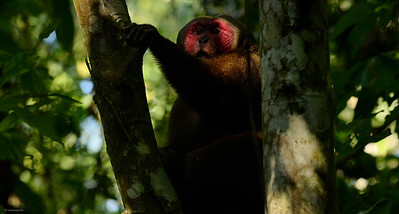 Forest IV; Stump-tailed Macaque