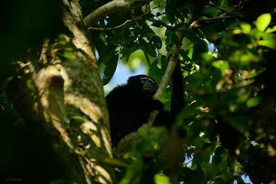 Hoolock Gibbon II