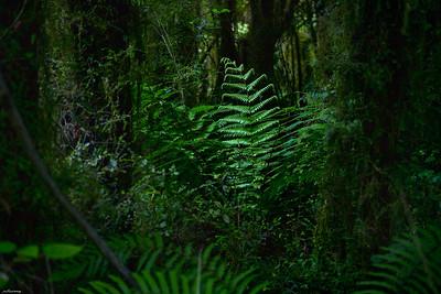 Paparoa Forest II