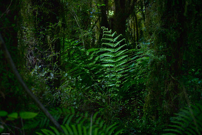 Paparoa Forest II