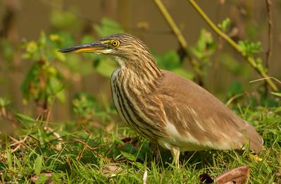 Pond Heron II