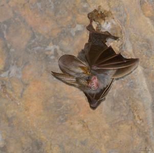 Lesser False Vampire Bat II