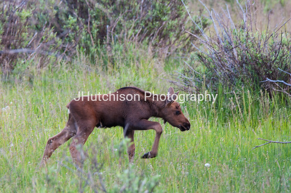 Curious Young Moose in Rocky Mountain National Park