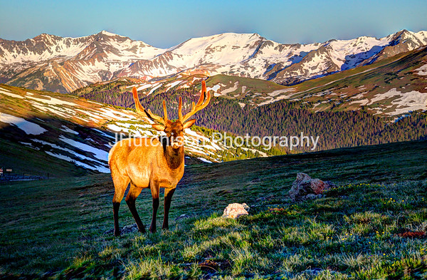 Bull Elk at First Light