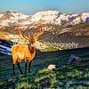Bull Elk at First Light